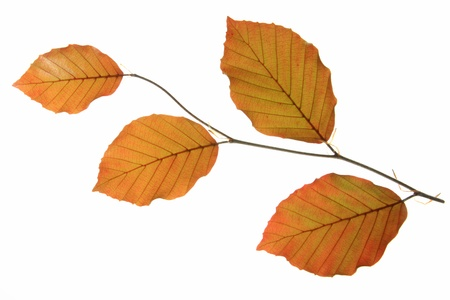 fagaceae: Copper beech  Fagus sylvatica f purpurea  - a small branch with fresh leaves in spring, isolated in front of white background