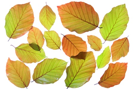 fagaceae: Copper beech  Fagus sylvatica f purpurea  - fresh leaves in spring, isolated in front of white background