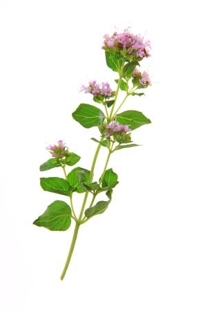 origanum: Flowering oregano  Origanum vulgare  - isolated in front of white background