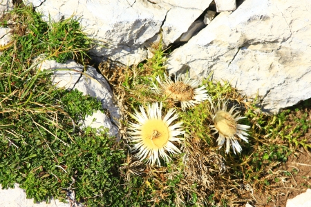 Carline thistle  Carlina acaulis , between limestone rocks on Monte Baldo, Lake Garda Area, Italy photo