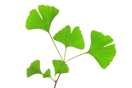 alternative living: Little twig of a Ginkgo tree  Ginkgo biloba