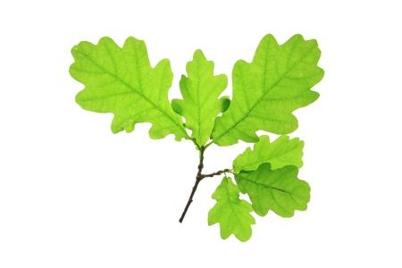 quercus robur: Oak leaves isolated against a white background  Quercus robur