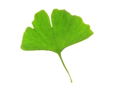 alternative living: One single leaf of the Ginkgo tree  Ginkgo biloba