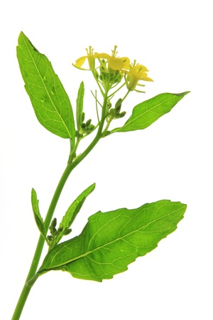 mustard plant: Flourishing black mustard  Brassica nigra  - isolated in front of white background