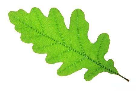 quercus robur: Oak leaf isolated against a white background  Quercus robur