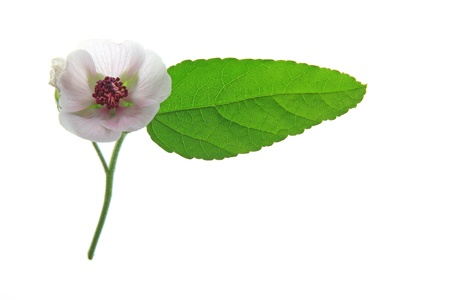 marshmallow: Marshmallow  Althaea officinalis  flower and leaf isolated in front of white background
