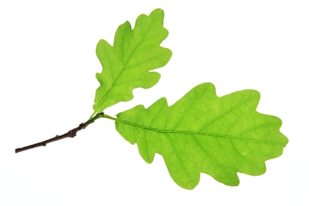 fagaceae: Oak leaves on a little twig, isolated against a white Quercus robur