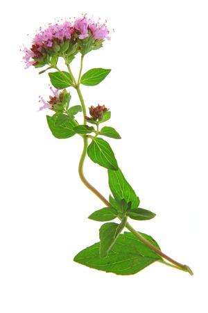 origanum: Flowering oregano  Origanum vulgare  - isolated in front of white