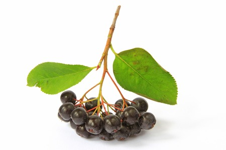 Ripe purple chokeberry  Aronia melanocarpa  isolated in front of white  photo