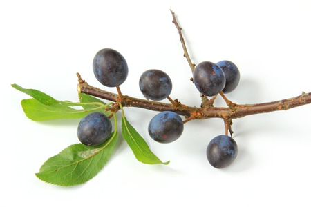 Sloes - Fruits of blackthorn  Prunus spinosa  isolated against white