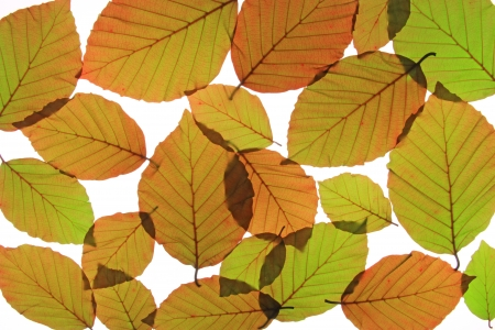 fagaceae: Copper beech  Fagus sylvatica f purpurea  - fresh leaves in spring, isolated in front of white  Stock Photo