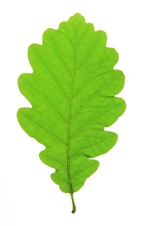 fagaceae: Oak leaf  Quercus robur  isolated against a white