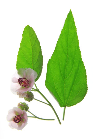 Marshmallow   Althaea officinalis   flower and leaf isolated in front of white