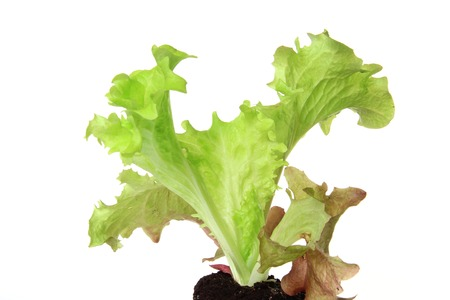 lactuca: Salad seedling of leaf lettuce variety Lollo Rosso (Lactuca sativa var. crispa), isolated inl front of white
