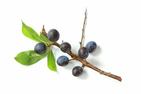 Sloes - Fruits of blackthorn Prunus spinosa isolated against white background