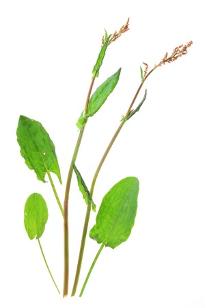 Flowering Common Sorrel  Rumex acetosa , isolated in front of white background