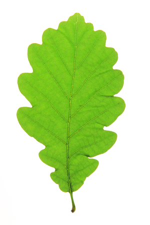 english oak: Oak leaf  Quercus robur  isolated against a white background  Stock Photo