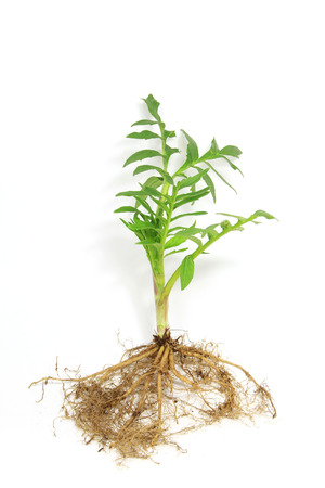 Seedling of valerian  Valeriana officinalis  isolated in front of white background