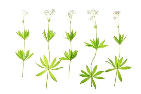 woodruff: Flowering woodruff  Galium odoratum , isolated against a white background