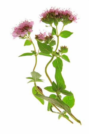 vulgare: Flowering oregano  Origanum vulgare  - isolated in front of white background