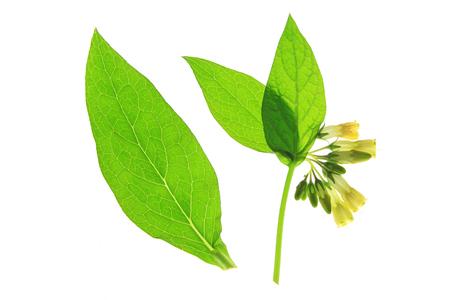 symphytum officinale: Comune Consolida Symphytum officinale, pianta da fiore giallo di fronte a sfondo bianco Archivio Fotografico
