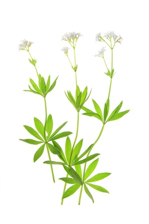 sweet woodruff: Flowering woodruff  Galium odoratum , isolated against a white background