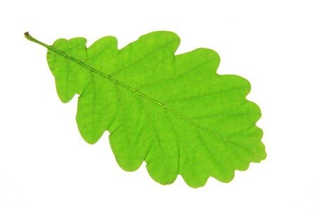 english oak: Oak leaves isolated against a white background  Quercus robur