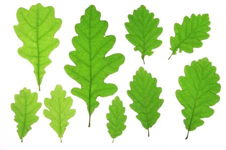 fagaceae: Oak leaves isolated against a white background  Quercus robur
