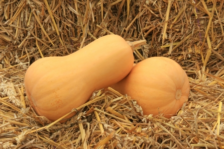 cucurbita: Freshly harvested butternut pumpkins lying on straw