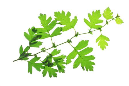 crata�gus: Las hojas de espino blanco o espino Crataegus aislados antes de un fondo blanco Foto de archivo