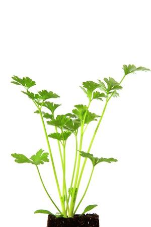 apium graveolens: Seedling of celery  Apium graveolens  isolated against white
