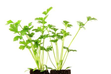 apium graveolens: Two seedlings of celery  Apium graveolens  isolated against white
