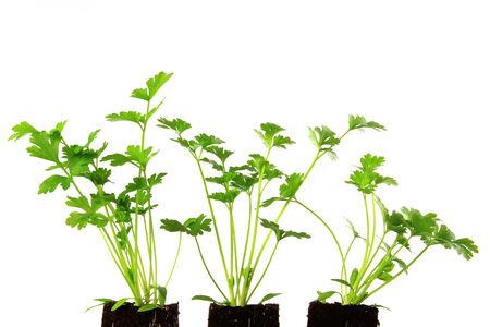 apium graveolens: Three eedlings of celery  Apium graveolens  isolated against white