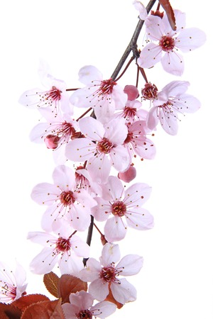 prunus cerasifera: Blooming branch of purple-leaf plum isolated against white background (Prunus cerasifera) Stock Photo