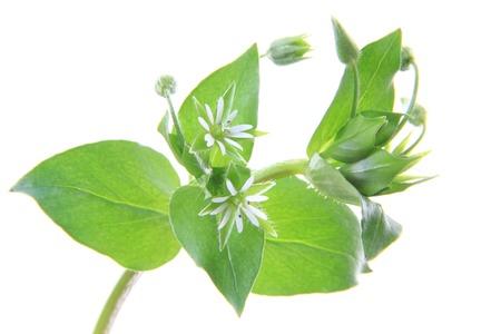 flowering plant: Chickweed (Stellaria media) - pianta fiorita isolati di fronte a sfondo bianco