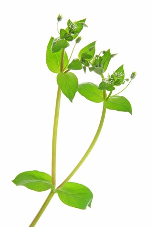 chickweed: Chickweed (Stellaria media) - flowering plant isolated in front of white background