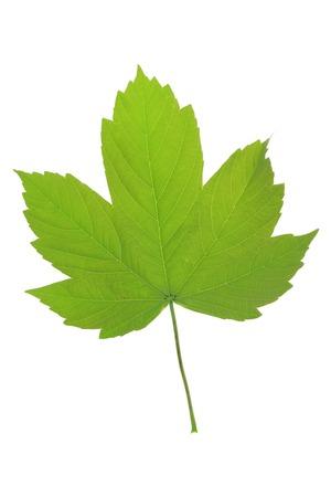 maple leaf: Maple leaf isolated against white background Stock Photo