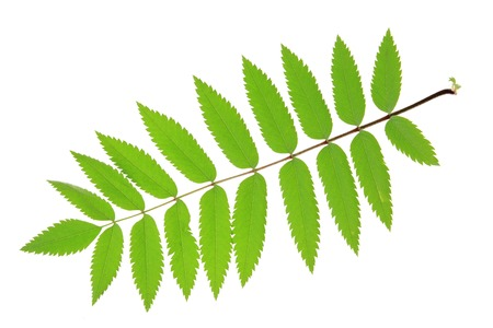 sorbus aucuparia: Rowan leaf  Sorbus aucuparia  isolated against white background Stock Photo