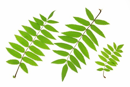 sorbus aucuparia: Rowan leaves  Sorbus aucuparia  isolated against white background Stock Photo