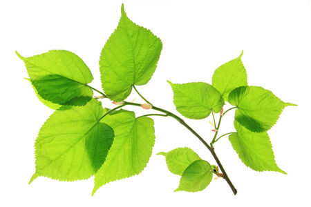 tilia: Lime  Tilia , branch with leaves in spring isolated in front of white background