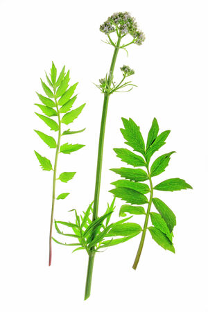 Valerian  Valeriana officinalis  flowering plant isolated in front of white background Stock Photo