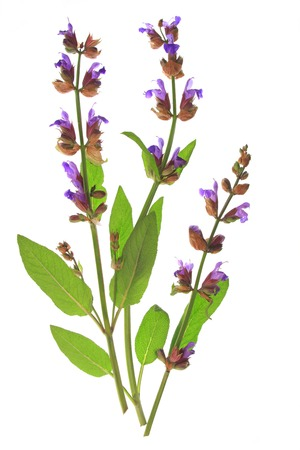 white salvia: flowering sage  Salvia officinalis  isolated before white background Stock Photo