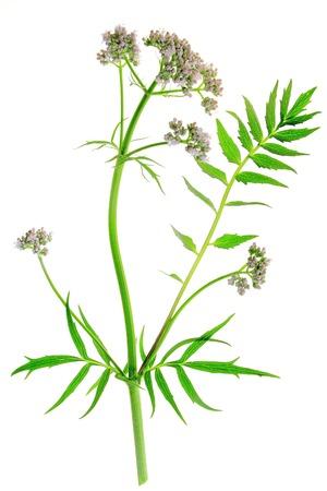 flowering plant: Pianta fiorita Valeriana Valeriana officinalis isolato di fronte a sfondo bianco
