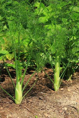 foeniculum vulgare: Fennel bulbs in the garden
