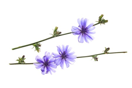 chicory coffee: Common chicory or wild chicory  Cichorium intybus , flowering plant isolated in front of white background Stock Photo