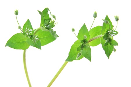 chickweed: Chickweed   Stellaria media   - flowering plant isolated in front of white background