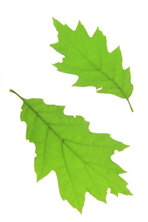 quercus: Leaves of red oak   Quercus rubra   isolated against white background