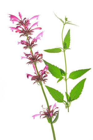 hyssop: Mexican giant hyssop   Agastache mexicana  flowering plant isolated in front of white background