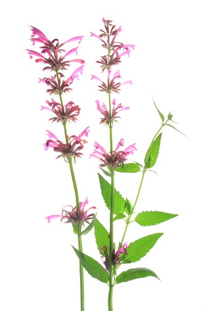 hyssop: Mexican giant hyssop   Agastache mexicana , flowering plant isolated in front of white background
