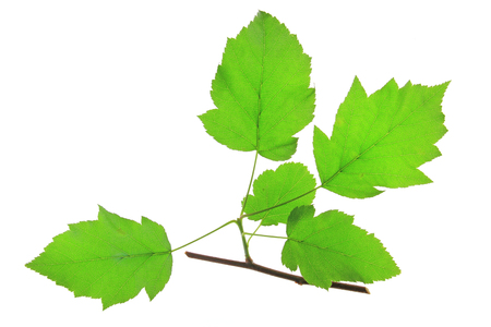 Wild Service Tree  Sorbus torminalis  branch with fresh leaves in springtime against white background